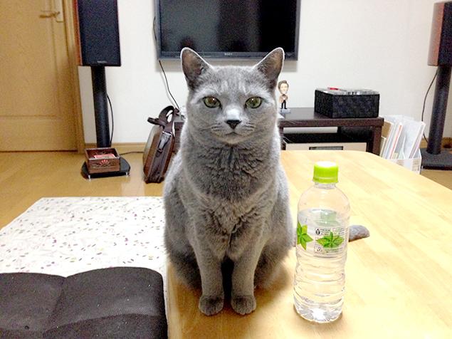 テーブルの上で、こちらをジッと見つめる猫さま(ロシアンブルー)の写真