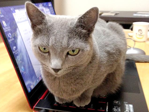 ノートパソコンのキーボードの上で、こちらを監視する猫さま(ロシアンブルー)の写真