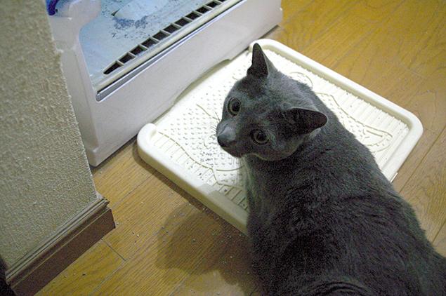 人が見ているとトイレに入れない、シャイな彼(猫)の写真