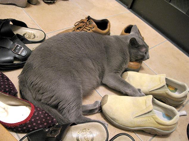 お客さま(ロシアンブルー)が靴を抱きしめている写真