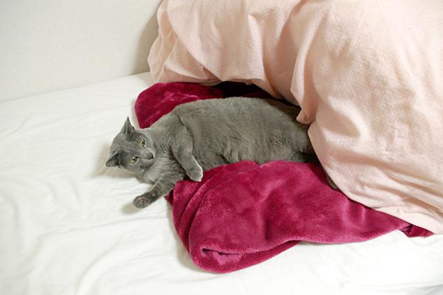 ベッドで、おくつろぎになられているお客さま(ロシアンブルー)の写真