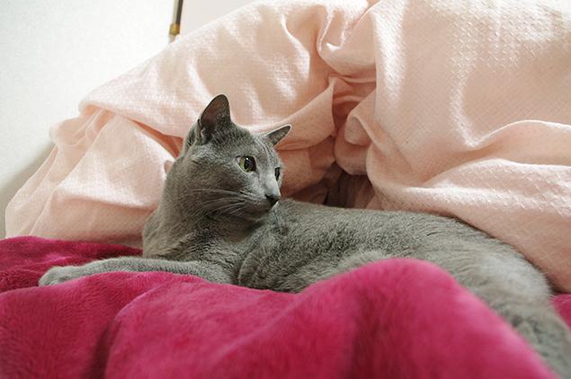 ベッドで、ますますおくつろぎになられているお客さま(ロシアンブルー)の写真