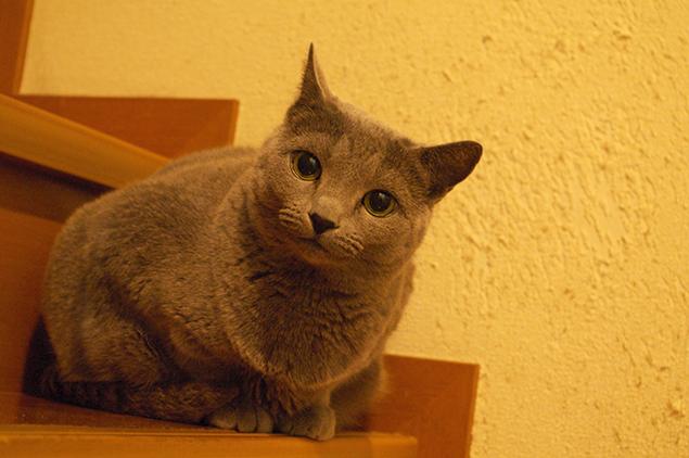 階段の壁をボロボロにして、キョトンとしているお客さま(ロシアンブルー)の写真