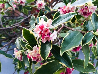 咲き始めた沈丁花の写真