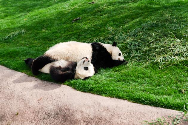 子パンダの写真