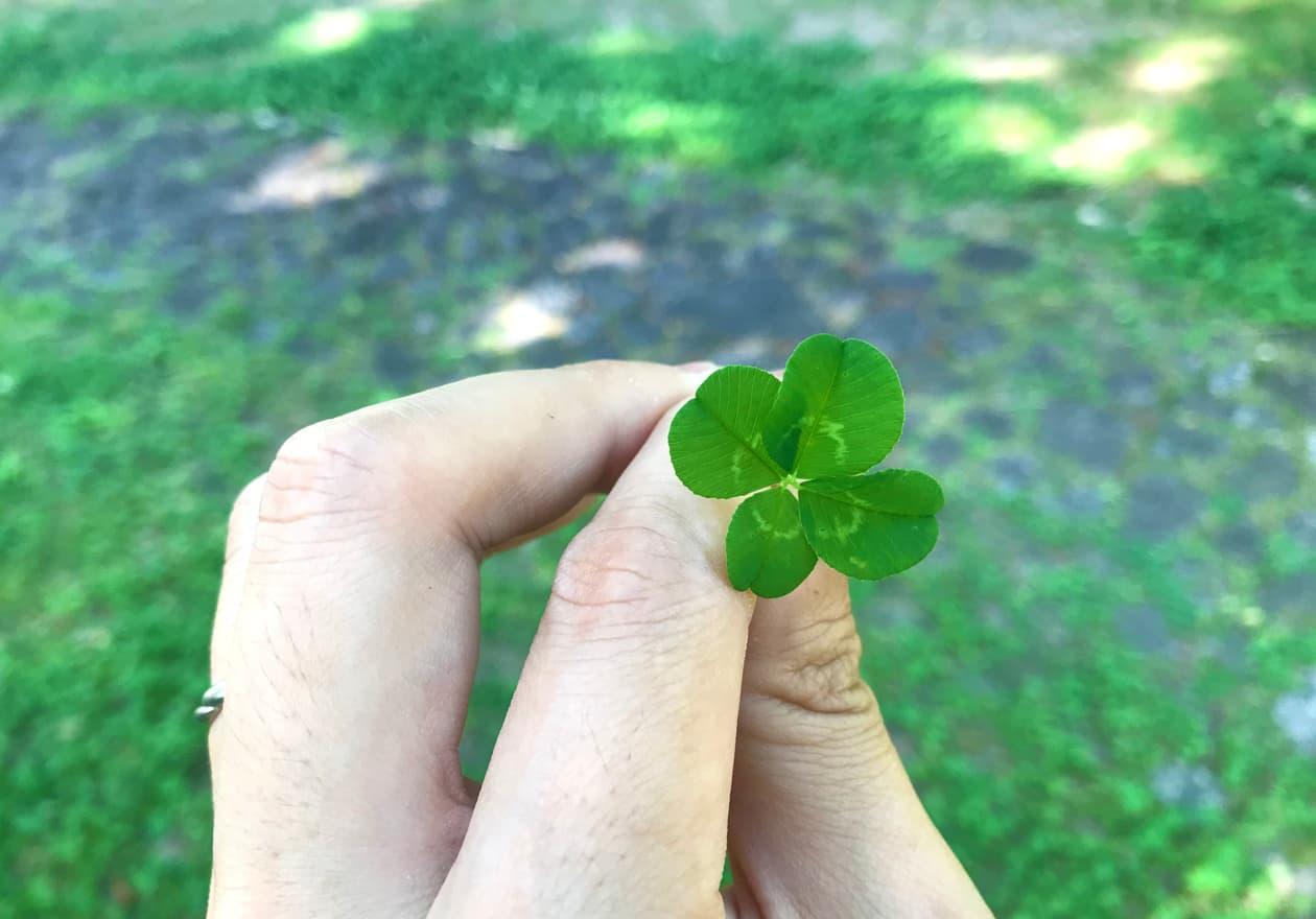 形のいい四つ葉のクローバーの写真